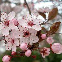 一心行の大桜の開花情報