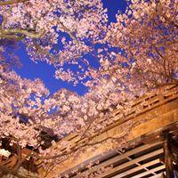 高遠桜の見頃