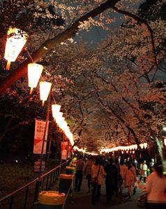 上野公園の桜の写真