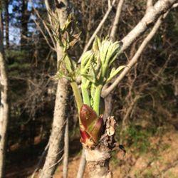 タラの芽が少し育った