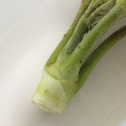 ハカマを取った後のタラの芽